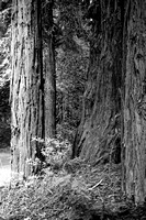 redwoods, Big Sur